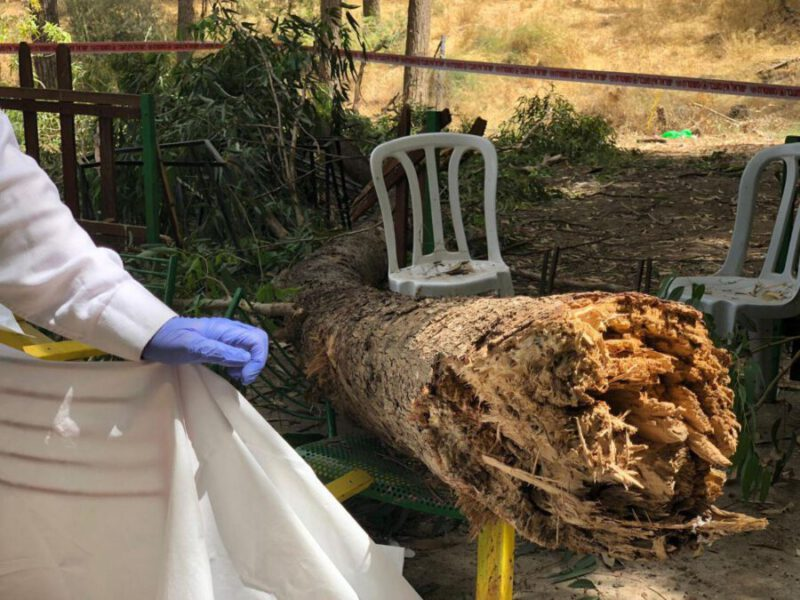 גזע עץ במשקל מאתיים קילו (דוברות המשטרה)