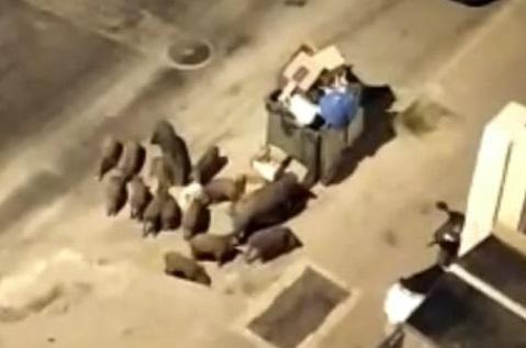 חזירי בר במודיעין עלית